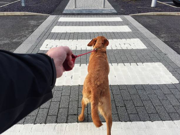 POV dog pulling hard on a leash across a pedestrian road crossing A point of view of a pet dog pulling on a lead being held tightly by the dog owner over a zebra crossing on a street pulling stock pictures, royalty-free photos & images