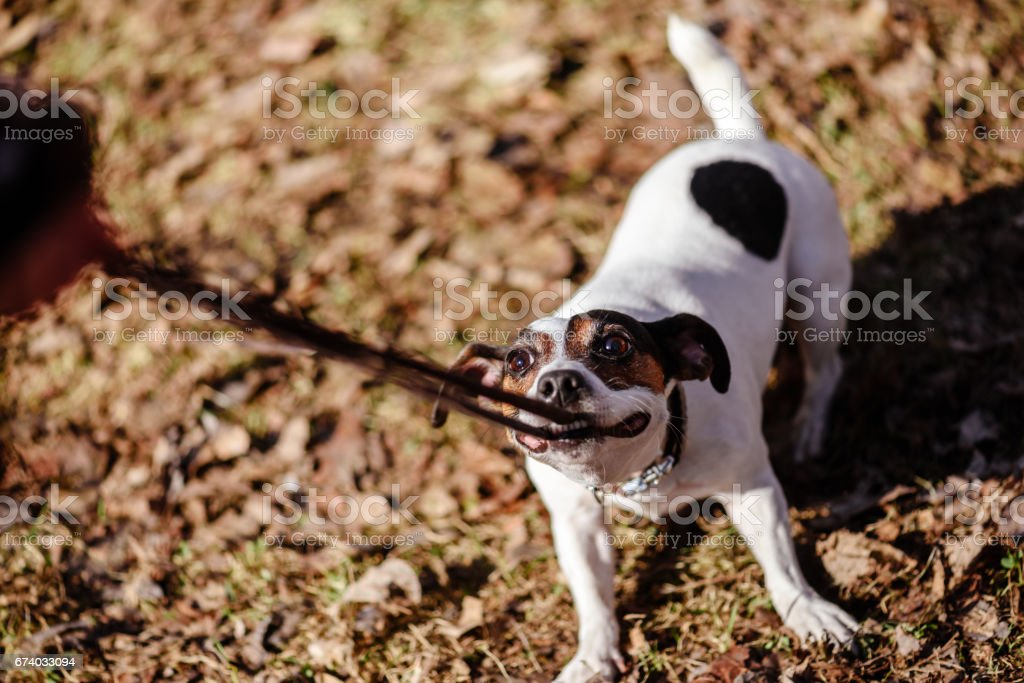 Dog pulling its leash holding it in mouth playing tug-of-war stock photo
