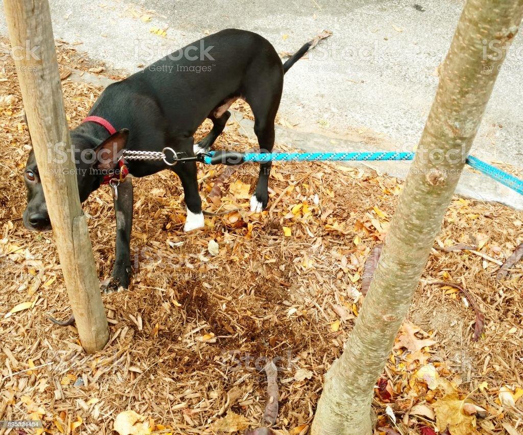 Dog Pulling Leash around Wooden Poles stock photo