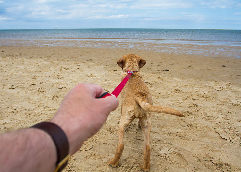 Dog Pulling On A Lead