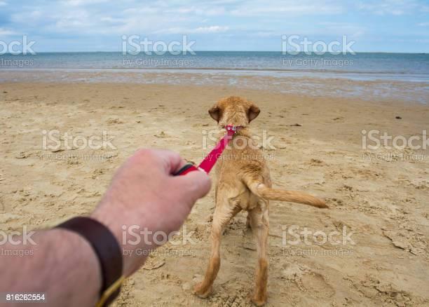 Dog pulling on a lead picture id816262554?b=1&k=6&m=816262554&s=612x612&h=5bjopeeapmpxmorhuzcj8k6wkxzqu gacroa5b4skec=