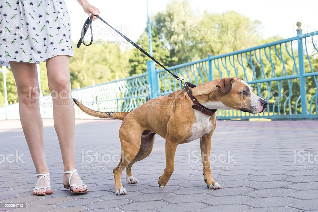Dog pulling on a leash stock photo