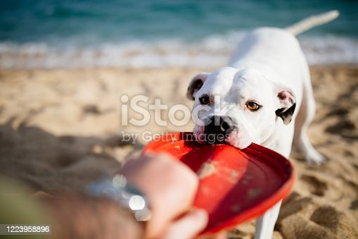 White dog, boxer, pulling on a red toy, frisbee, at the beach