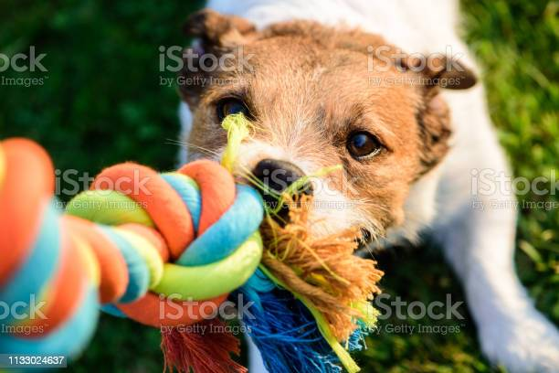 Dog pulls chewing colourful toy cotton rope picture id1133024637?b=1&k=6&m=1133024637&s=612x612&h=dtxi6 kbp9tdzgiwxx9puo54p0km5phyka4zcywu2os=