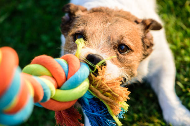 Dog pulls chewing colourful toy cotton rope Jack Russell Terrier tugs a toy (POV) pulling stock pictures, royalty-free photos & images