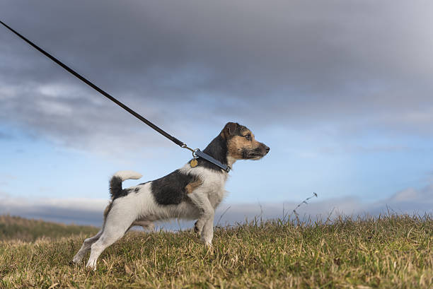 dog pulls on leash - jack russell terrier - hundehalsbänder und leinen stock-fotos und bilder