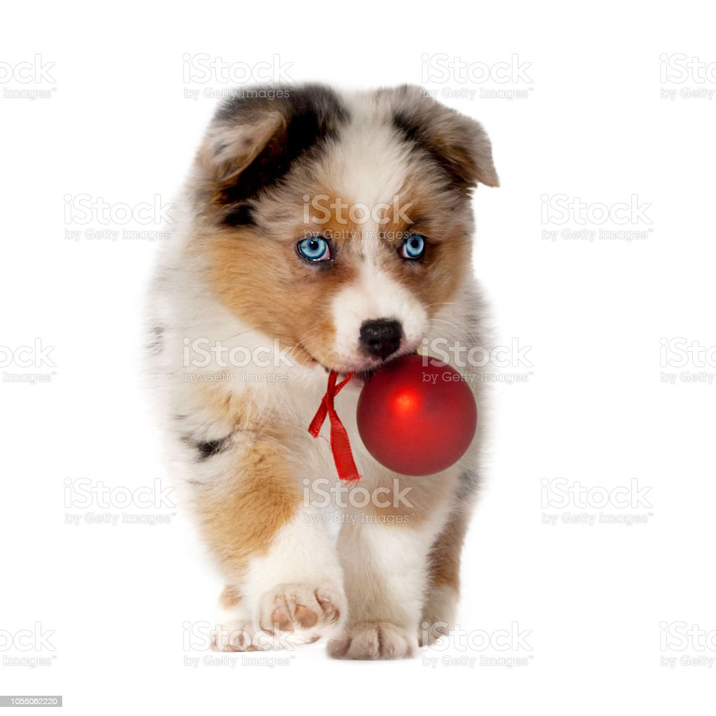 Dog Puppy 8 Weeks Australian Shepherd With Christmas Ball In Mouth Isolated Stock Photo Download Image Now Istock