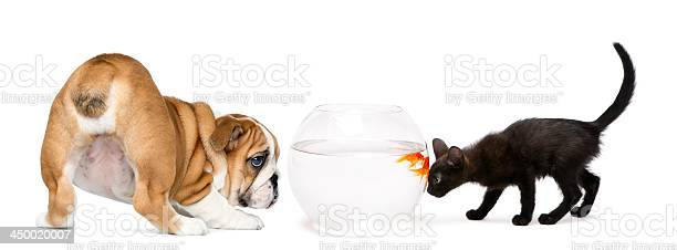 Dog puppy and kitten looking at a goldfish picture id450020007?b=1&k=6&m=450020007&s=612x612&h=0tz1mbbb73p7j4lowices5yoy4vr wjate9wjpqrs6e=