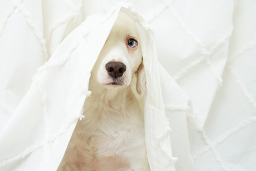 Dog puppy anxiety about fireworks, thunderstorm or loud noises hide under a curtain.