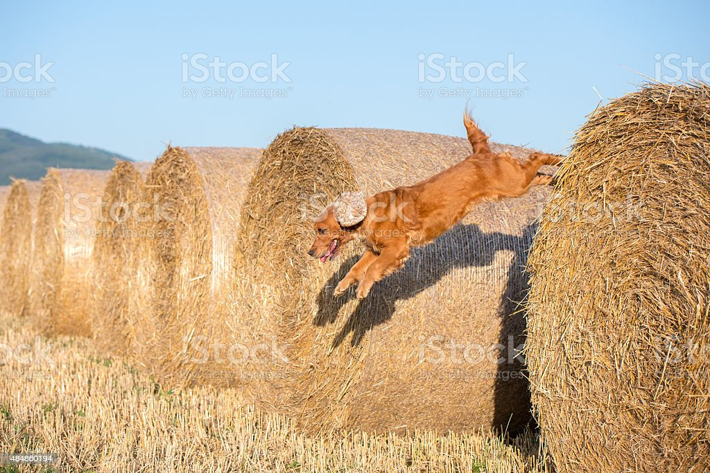 Dog Puppy Cocker Spaniel Jumping From Wheat Ball Stock Photo