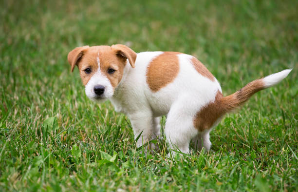 Dog puppy doing his toilet Cute Jack Russell Terrier dog puppy doing his toilet, pooping poop stock pictures, royalty-free photos & images