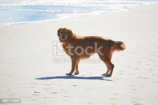 Dog puppy English Irish Setter running at the beach