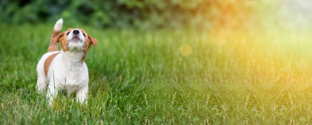 Dog puppy howling in the grass stock photo