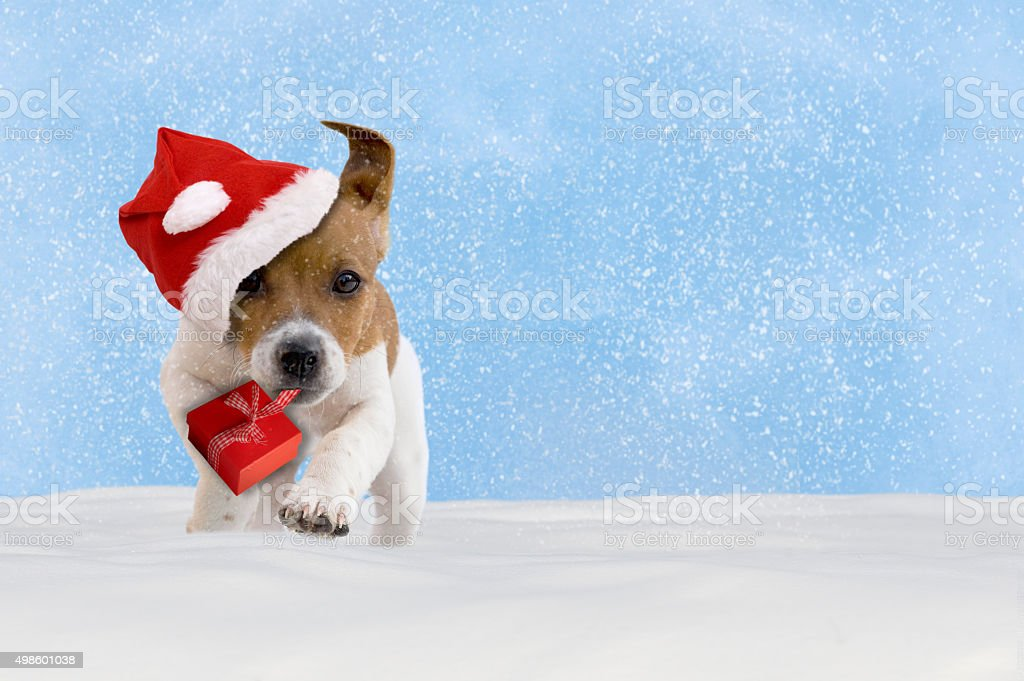 Dog, puppy, Jack Russel Terrier with santa hat jumping stock photo