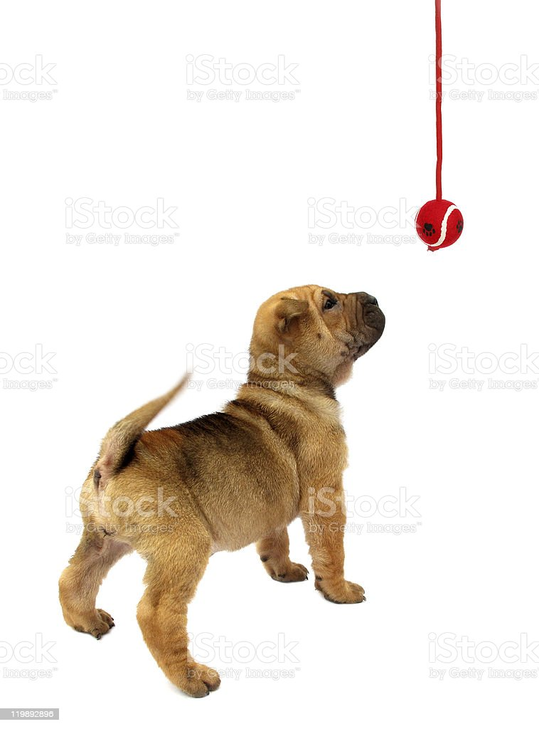 Dog puppy looking in hanging ball isolated on white background royalty-free stock photo