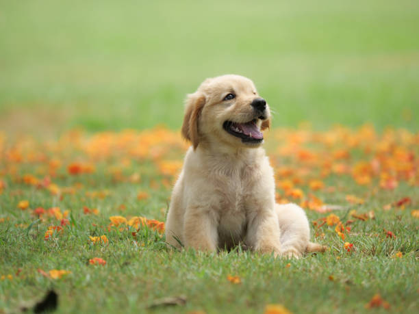 Dog puppy on garden Dog puppy playing on garden retriever stock pictures, royalty-free photos & images