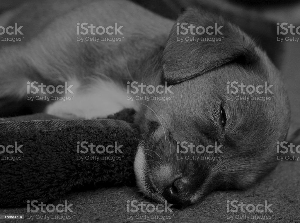 Dog Puppy Sleeping Black and white stock photo