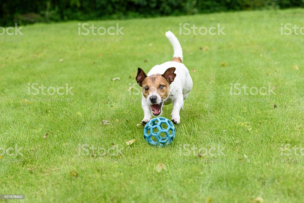 Dog pursuing and catching ball playing on green grass stock photo
