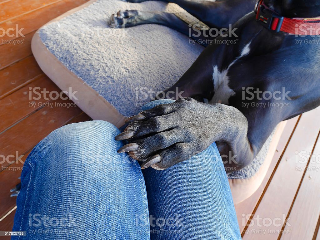 Dog putting his paw on woman's thigh stock photo