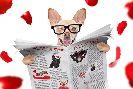 cool funny chihuahua dog reading a blank empty  newspaper or magazine wearing reading glasses