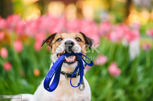 Jack Russell Terrier holding leash with colorful flower bed at background