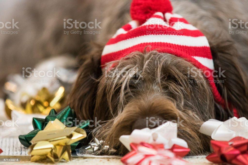 Dog ready for Christmas (Korthals Griffon) stock photo