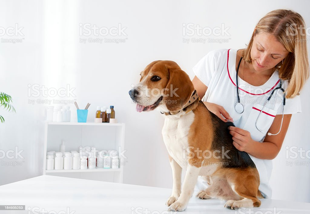 Dog Receiving Vaccine stock photo