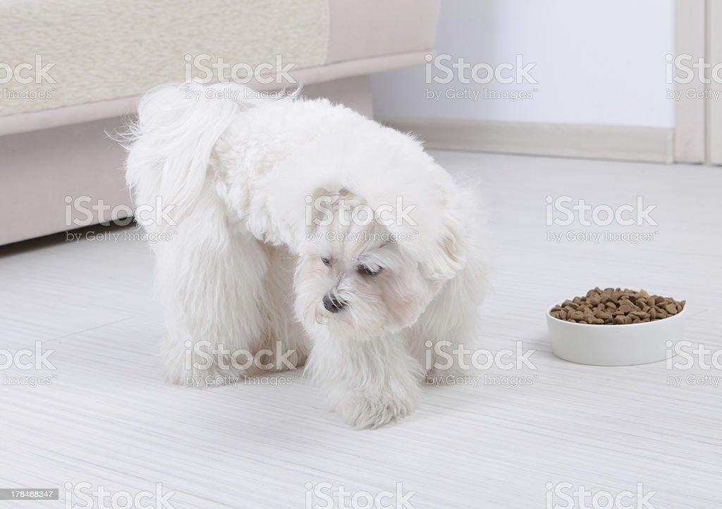 Dog refusing to eat dry food stock photo