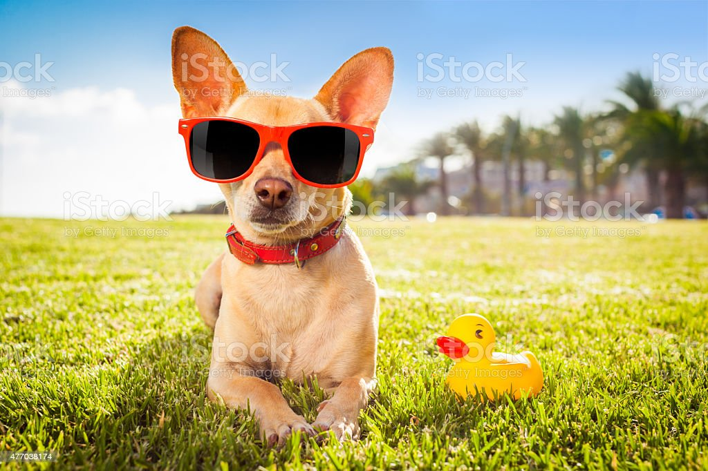 chihuahua dog relaxing and resting , lying on grass or meadow at city...