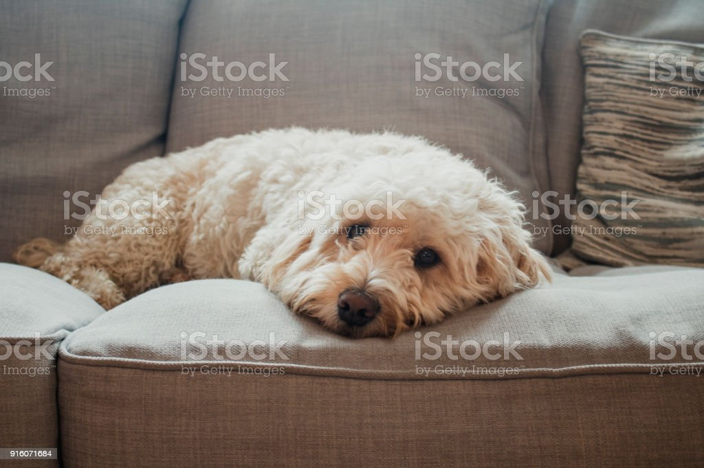 Dog Relaxing on Sofa stock photo