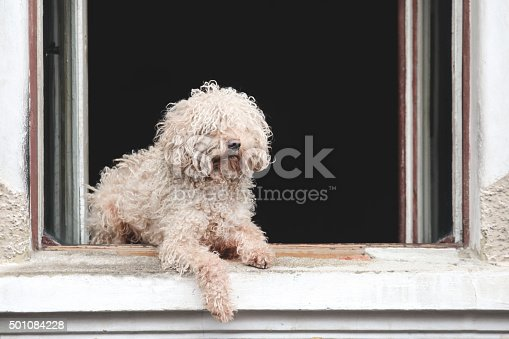 White puli, Hungarian Komondor shepherd dog relaxing on a window.