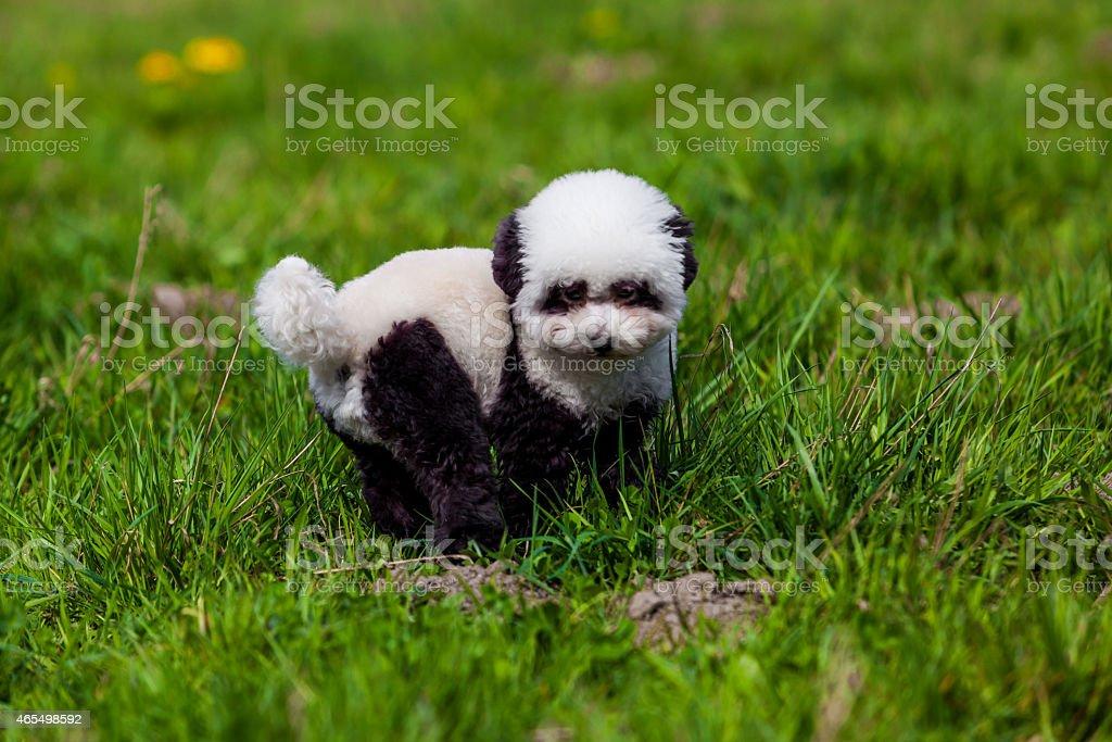 dog repainted on panda. groomed dog. pet grooming.