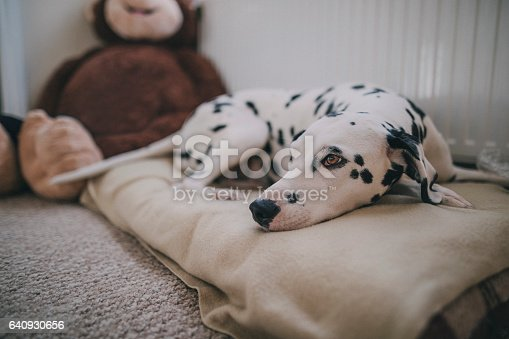 A sleepy Dalmatian relaxing in bed!