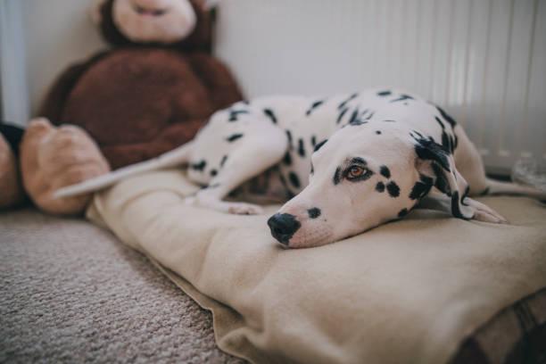 hund im bett ruhen - katzen kissen stock-fotos und bilder