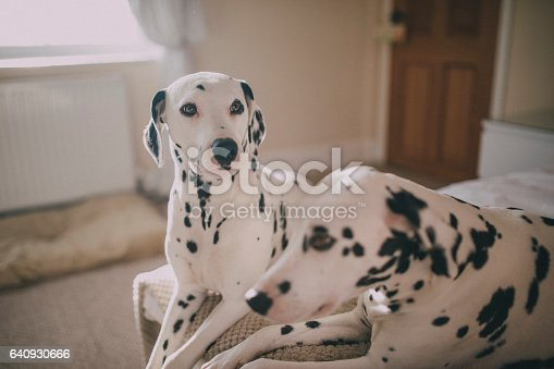 Two Dalmatians side by side resting on their owners bed in a bedroom during the day.