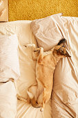 istock Dog resting on bed 1206655002