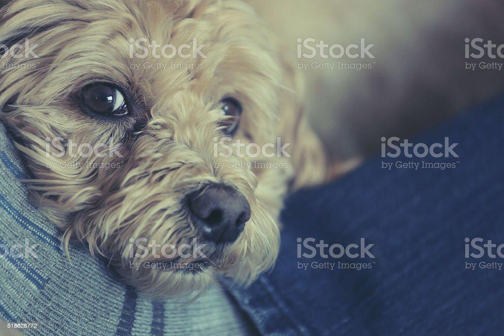 Dog resting on mans legs stock photo