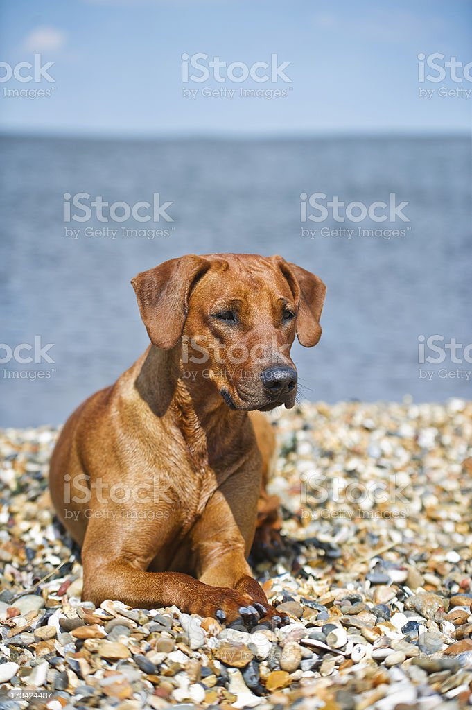 Dog resting on the beach royalty-free stock photo