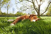 Springtime on the garden. Cute dog (Nova Scotia Duck Tolling Retriever) resting under tree on the garden during sunset.