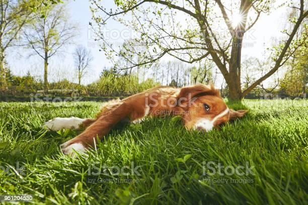 Dog resting on the garden picture id951204530?b=1&k=6&m=951204530&s=612x612&h=xdoszspqby0atmnisqt9ovfe4icoup4igp8lcqlanfu=