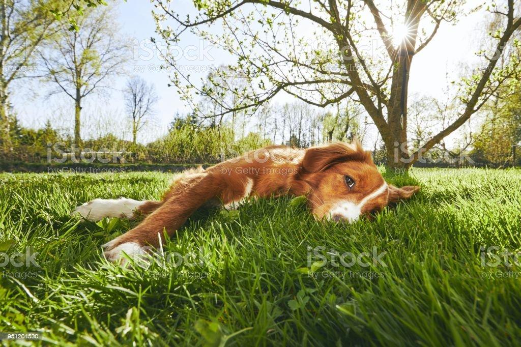 Dog resting on the garden stock photo