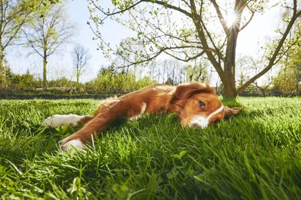 bahçe üzerinde dinlenme köpek - yatmak stok fotoğraflar ve resimler
