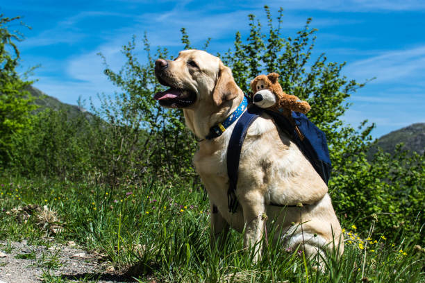 A dog resting on the mountain with his backpack