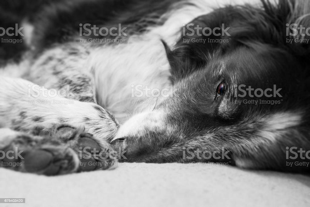 Dog resting royalty-free stock photo