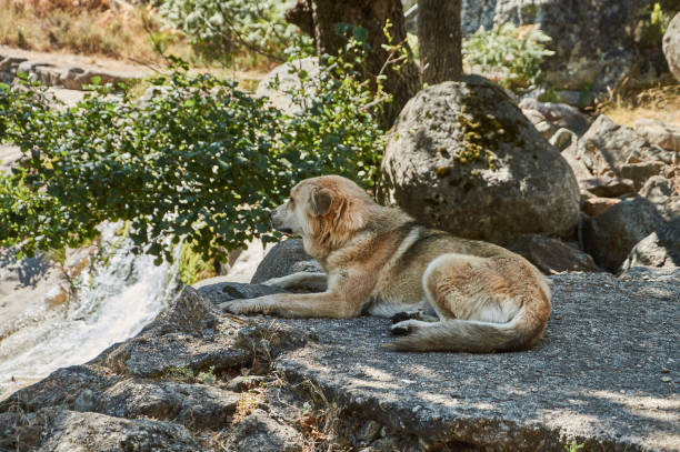 Dog rests in the gorge of the papuos of the jerte valley sierra de picture id1179961245?b=1&k=6&m=1179961245&s=612x612&w=0&h=nrdzzqvq4ryt9ce6vvlkxb i2owxpfa88prx hwp4 s=