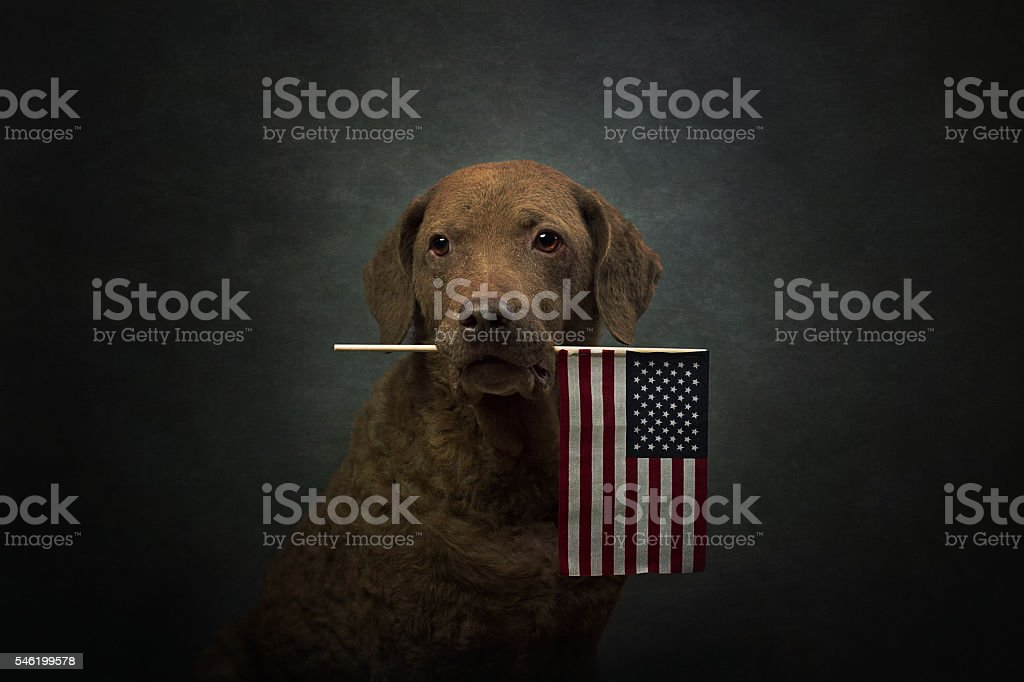 Dog: Retriever Holding American Flag stock photo