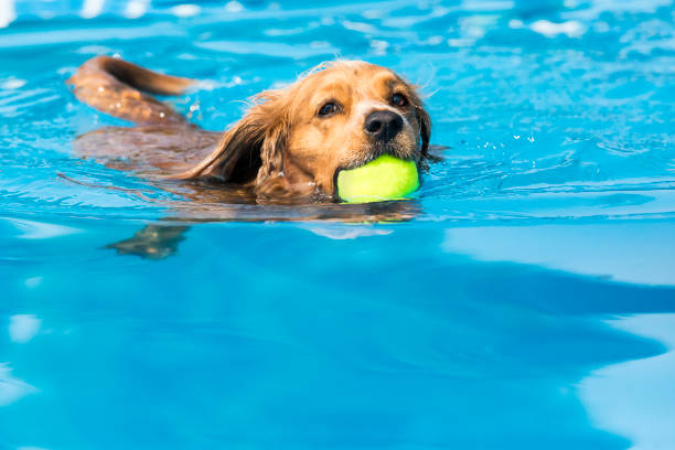 Dog retrieving a toy and playing in pool at splash challenge picture id1048650280?b=1&k=6&m=1048650280&s=612x612&w=0&h=624krnbe9v99szpnkhrl l0cbwvbc3exmnezky9nb8w=