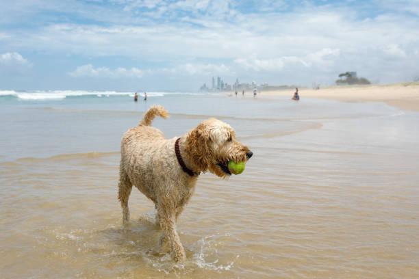 Dog Retrieving Tennis Ball On Pet-Friendly Beach stock photo