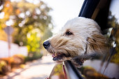 istock Dog Riding in Car With Window Open 1278653545