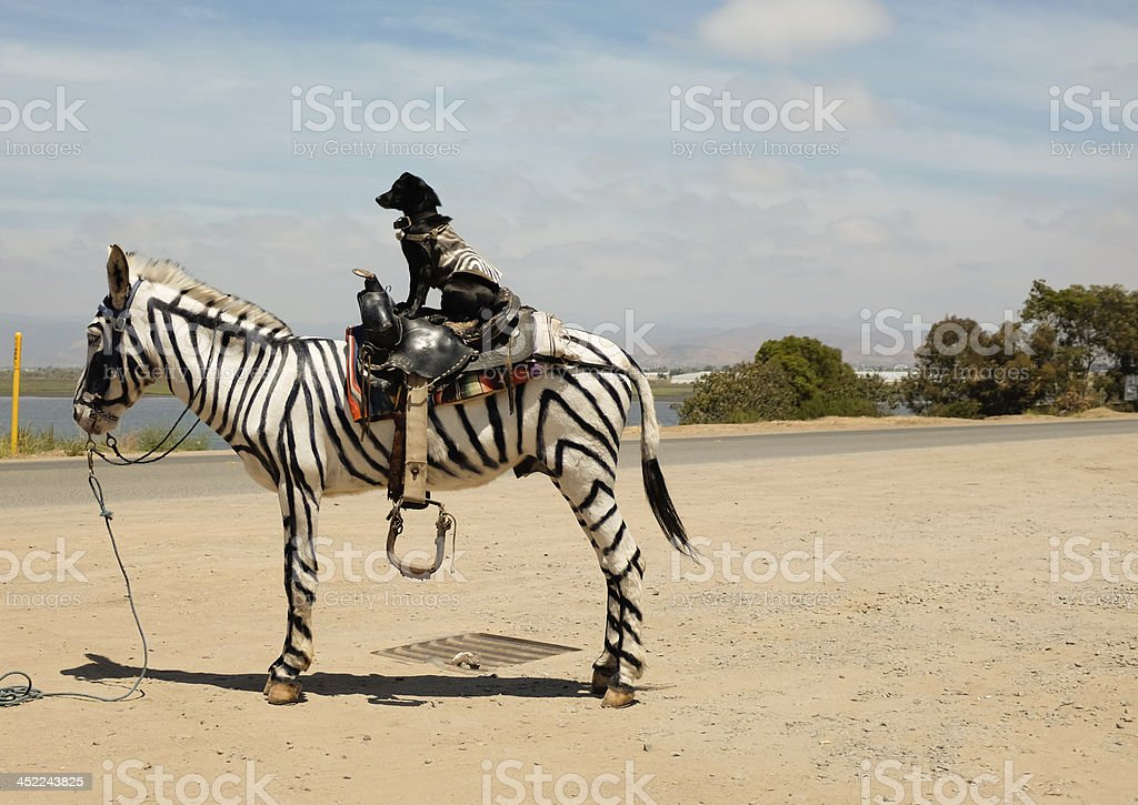 Dog Riding Mexican Horse Painted Like A Zebra stock photo